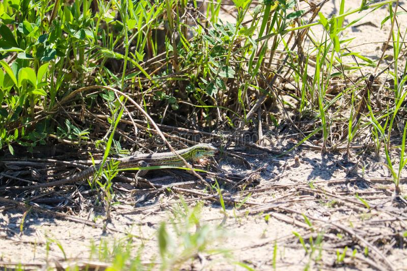 Green sand lizard in Nebraska wildlife royalty free stock images