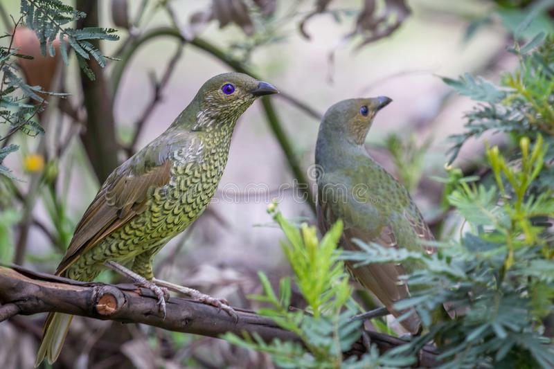Wild Satin Bower Bird, Queen Mary Falls, Queensland, Australia, March 2018 royalty free stock images