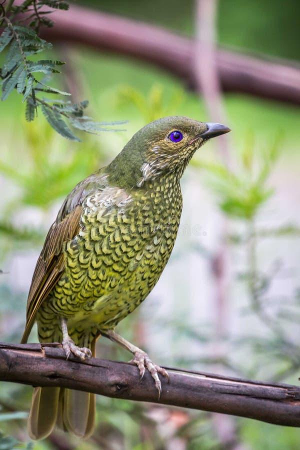Wild Satin Bower Bird, Queen Mary Falls, Queensland, Australia, March 2018 stock photo
