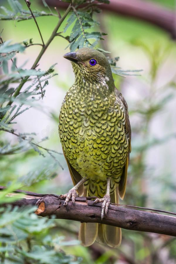 Wild Satin Bower Bird, Queen Mary Falls, Queensland, Australia, March 2018 stock images