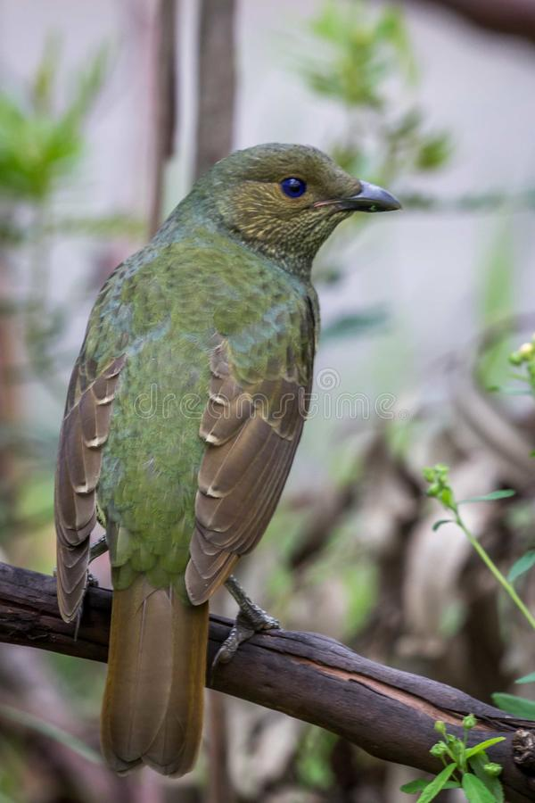 Wild Satin Bower Bird, Queen Mary Falls, Queensland, Australia, March 2018 stock photos