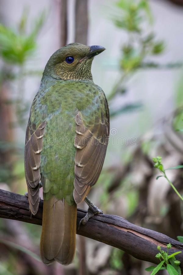 Wild Satin Bower Bird, Queen Mary Falls, Queensland, Australia, March 2018 stock image