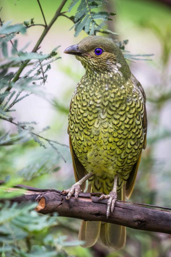 Wild Satin Bower Bird, Queen Mary Falls, Queensland, Australia, March 2018 royalty free stock image