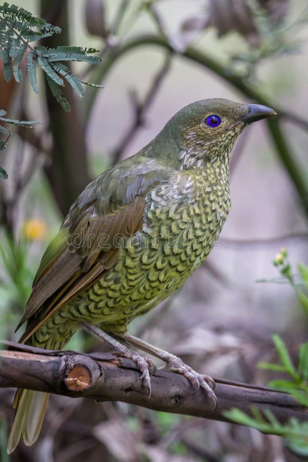 Wild Satin Bower Bird, Queen Mary Falls, Queensland, Australia, March 2018 royalty free stock photo