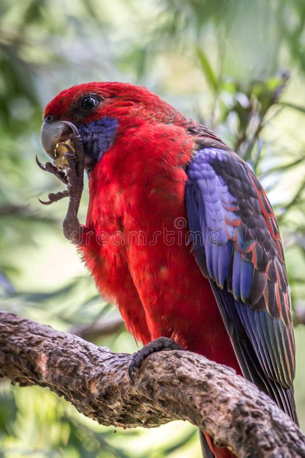 Wild Satin Crimson Rosella, Queen Mary Falls, Queensland, Australia, March 2018 royalty free stock photography