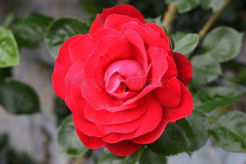 Wild scarlet rose royalty free stock photos