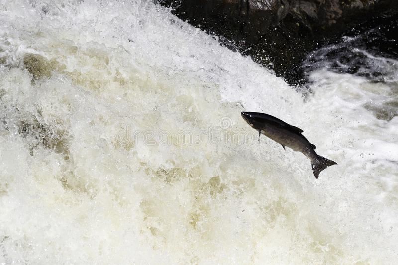 Wild Scottish atlantic salmon leaping on waterfall royalty free stock images