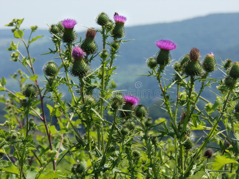 Wild Scottish thistle growing in fields and meadows. Beautiful, thorny purple thistle wildflower growing in abundance in fields, meadows, roadsides. Long stock image