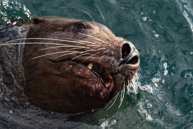 Wild sea animal Steller Sea Lion swims in cold waves Pacific Ocean royalty free stock images