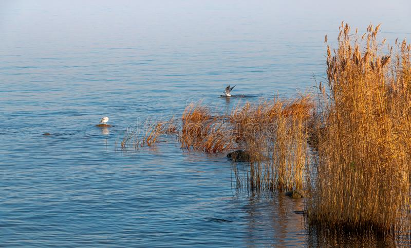 Wild sea birds on the Gulf of Finland waters royalty free stock photography