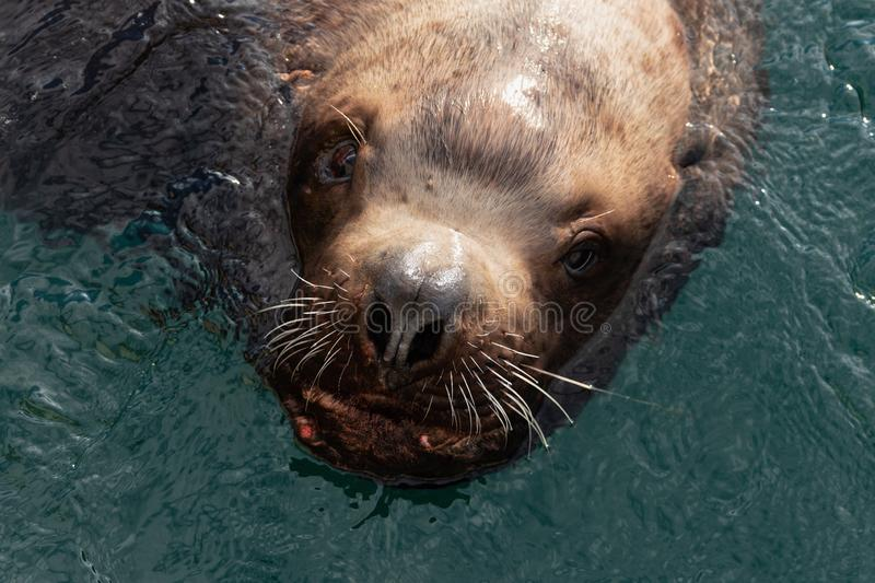 Wild sea mammal animal Steller Sea Lion swims in cold water Pacific Ocean stock images