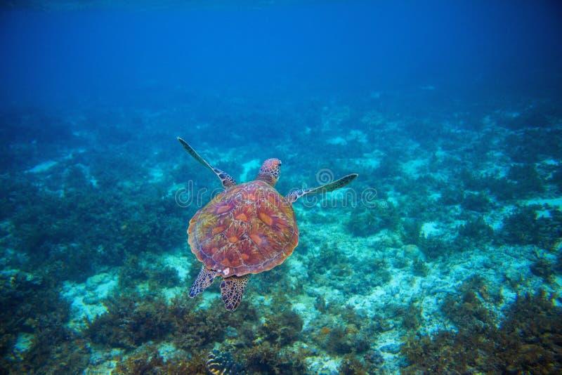 Wild sea turtle swims in sea water. Green sea turtle closeup. Wildlife of tropical coral reef. royalty free stock photos