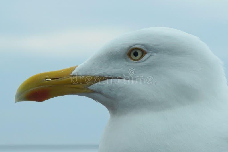 Wild seagull portrait stock photos