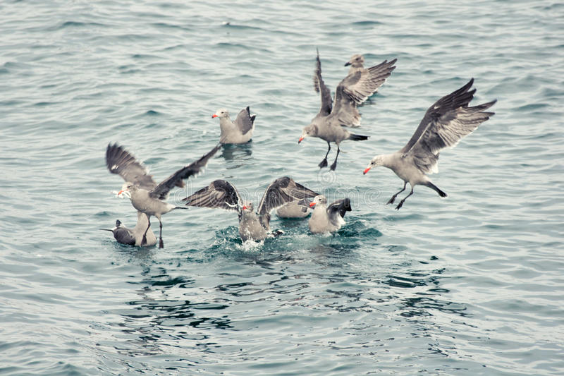 Wild seagulls scramble for food royalty free stock images
