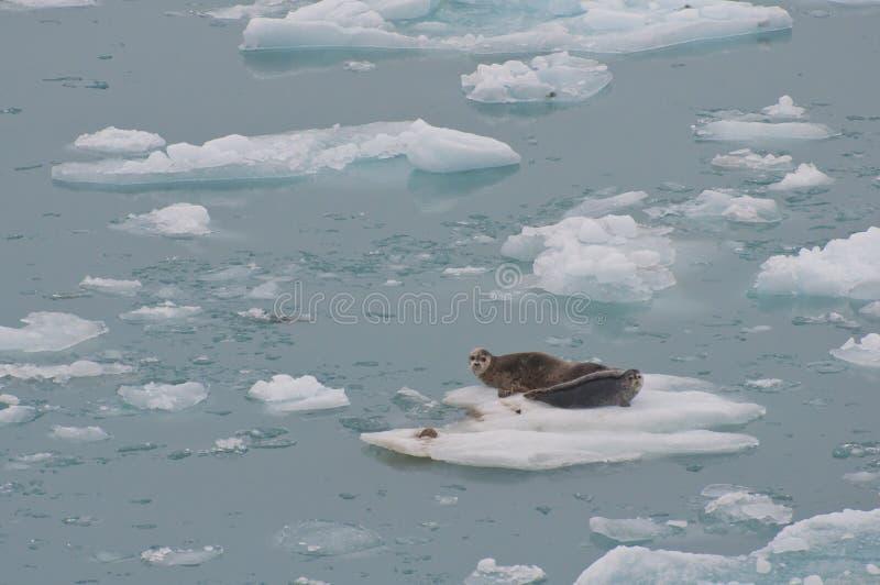 Wild seals