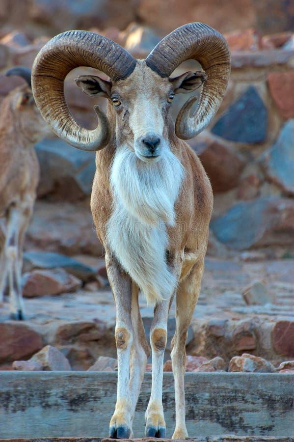 Wild sheep. Urial (Ovis orientalis vignei royalty free stock image