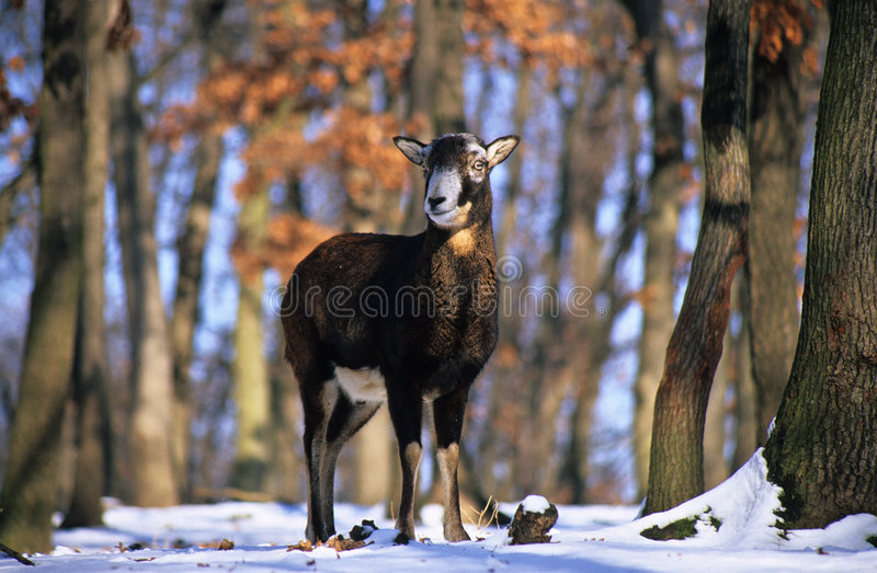 Wild sheep. In the snowy forest royalty free stock photos