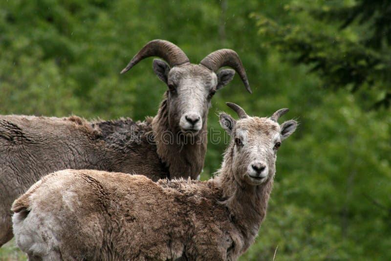 wild sheeps royaltyfri bild