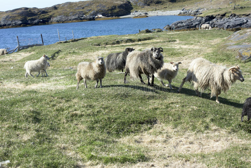 Wild Sheep, Greenland. Sheeps on hill in front of Atlantic Ocean, Alluitsoq, Greenland royalty free stock photo
