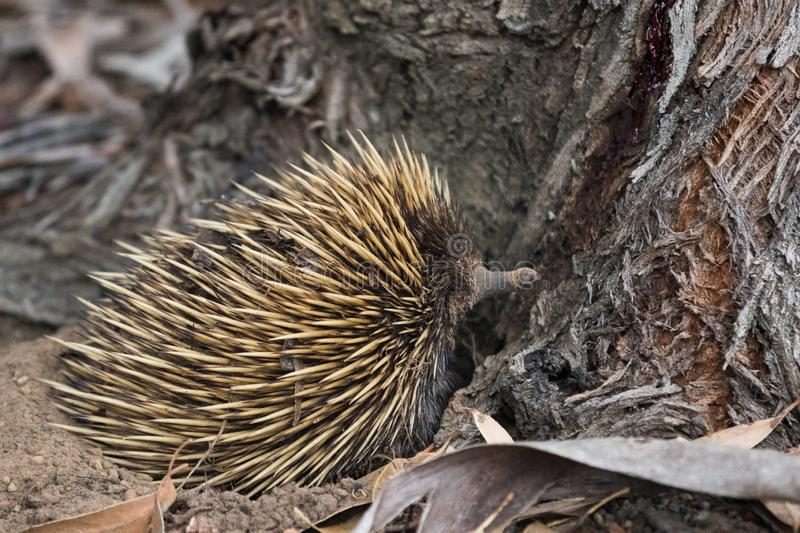 Wild short-beaked prickly echidna with huge yellow prickles try to dig a hole and hide in it under the in roots of an eucalyptus. Wild short-beaked echidna with stock images
