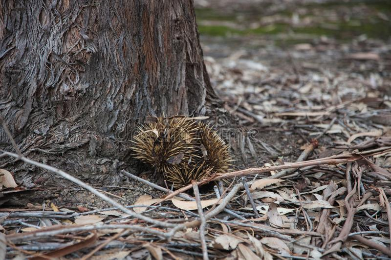 Wild short-beaked prickly echidna with huge yellow prickles try to dig a hole and hide in it under the in roots of an eucalyptus. Wild short-beaked echidna with stock photo