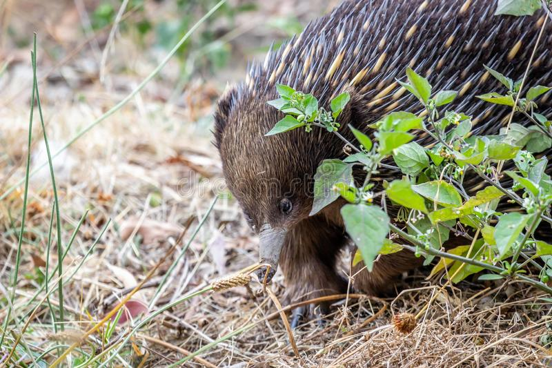 Wild Short-beaked Echidna Foraging at Hanging Rock, Victoria, Australia, March 2019 stock photography