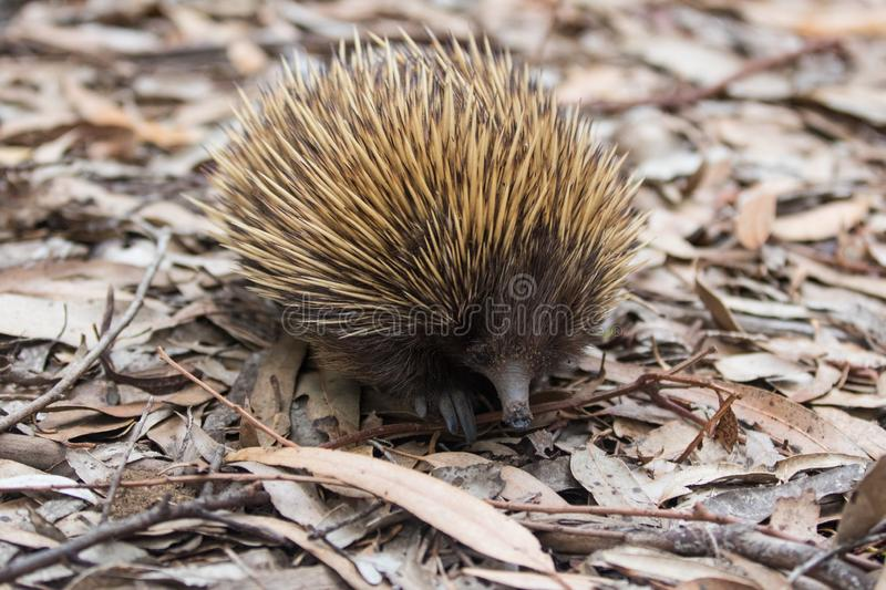 Wild short-beaked prickly echidna with dirty muzzle walking between dry brown leaves in the eucalyptus forest. Australia. Wild short-beaked echidna with dirty royalty free stock image