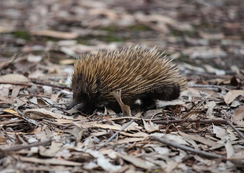 Wild short-beaked prickly echidna with dirty muzzle walking between dry brown leaves in the eucalyptus forest. Australia. Wild short-beaked echidna with dirty royalty free stock images
