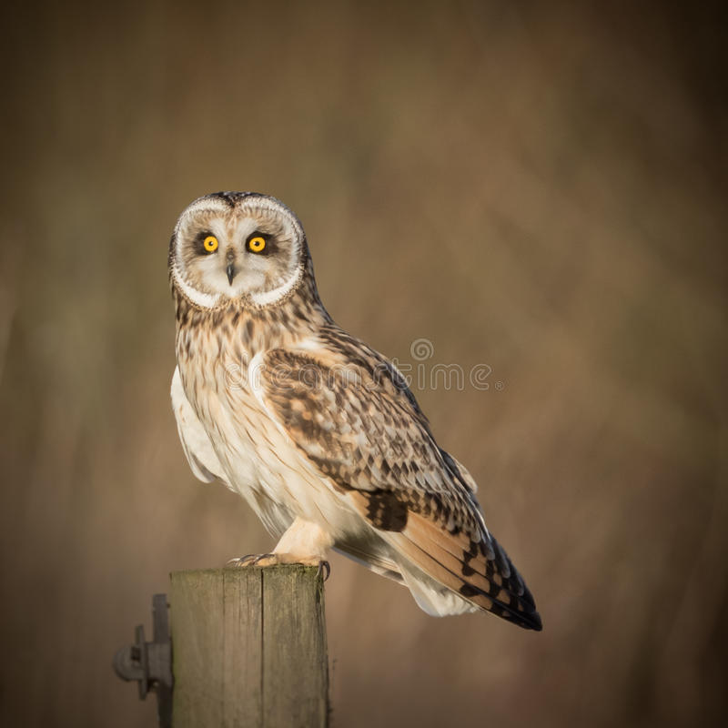 Wild Short eared owl sitting on fence post and staring forwards. With beautiful yellow orange eyes (Asio flammeus royalty free stock image