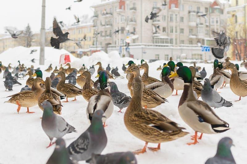 Wild Siberian ducks, mallards, next to pigeons, stand on the snow-covered sidewalk. Closeup, Wild Siberian ducks, mallards, next to pigeons, stand on the snow stock image