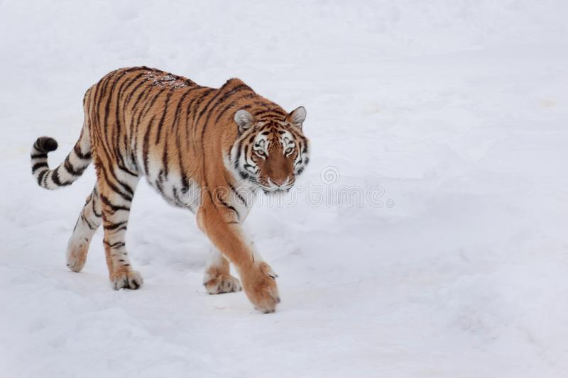Wild siberian tiger is chasing its prey on white snow. Animals in wildife. Winter morning royalty free stock photography