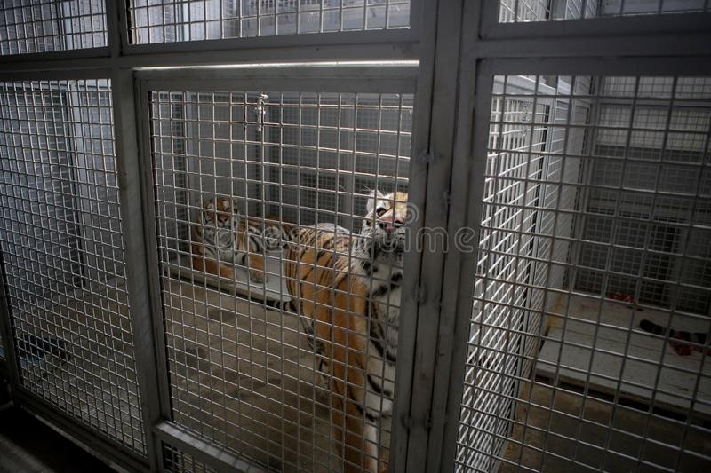 Wild Siberian tiger kept in cage inside a circus menagerie - animal abuse.  stock photo