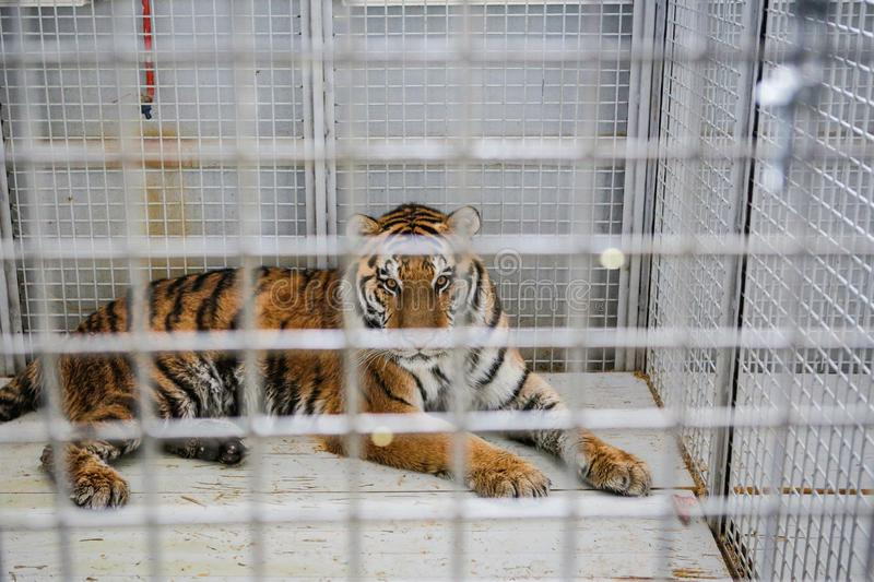 Wild Siberian tiger kept in cage inside a circus menagerie - animal abuse.  stock images