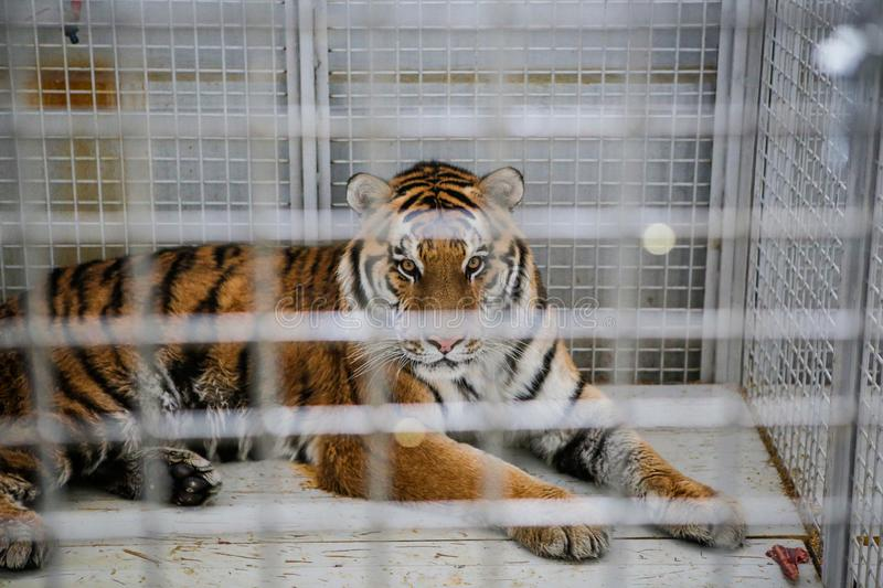 Wild Siberian tiger kept in cage inside a circus menagerie - animal abuse.  stock photography