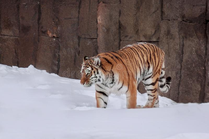Wild siberian tiger is walking on white snow. Animals in wildife. Winter morning royalty free stock images