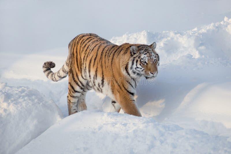 Wild siberian tiger is walking on the white snow. Panthera tigris tigris. Animals in wildlife. Wild siberian tiger is walking on the white snow. Animals in stock photography