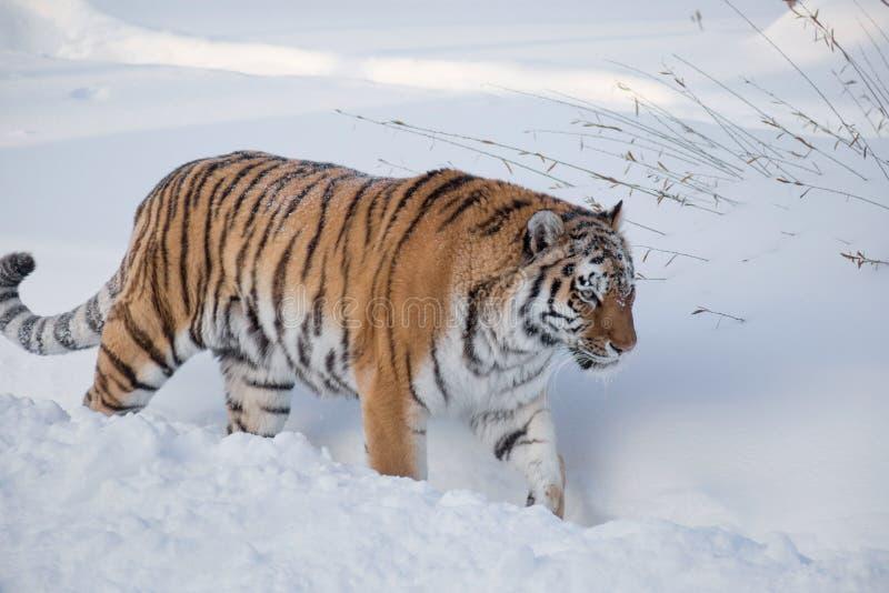 Wild siberian tiger is walking on the white snow. Panthera tigris tigris. Animals in wildlife. Wild siberian tiger is walking on the white snow. Animals in royalty free stock photo
