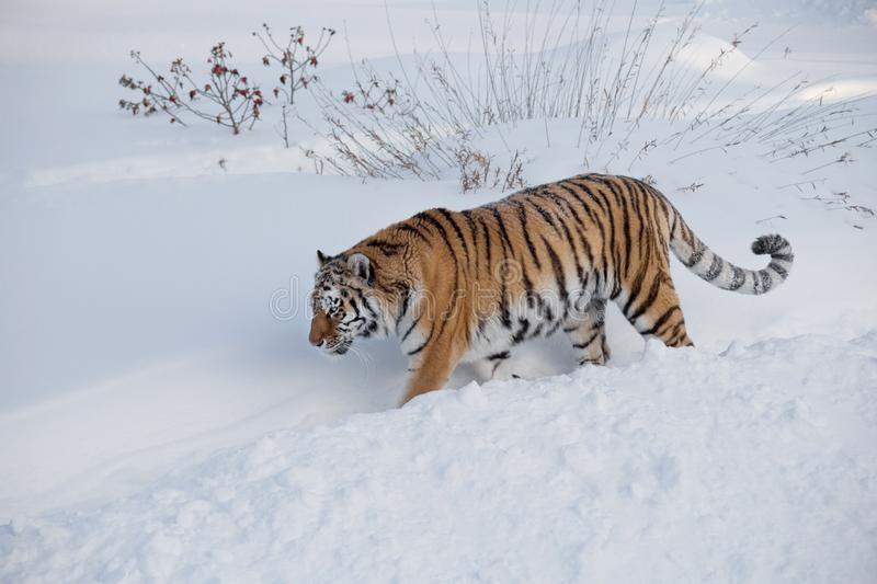 Wild siberian tiger is walking on the white snow in the park. Panthera tigris tigris. Animals in wildlife. Wild siberian tiger is walking on the white snow in stock photo