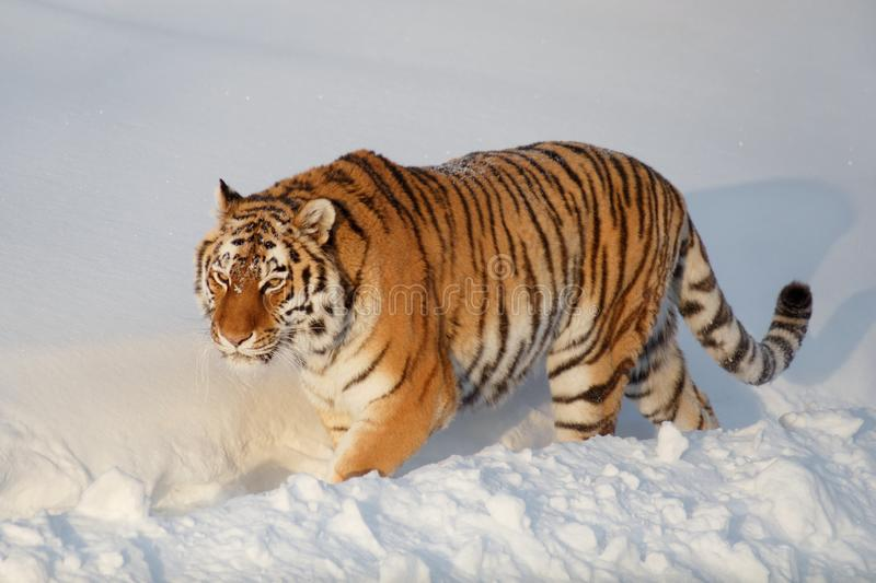 Wild siberian tiger is walking on the white snow in the park. Panthera tigris tigris. Animals in wildlife. Wild siberian tiger is walking on the white snow in royalty free stock images
