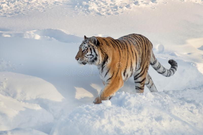 Wild siberian tiger is walking on the white snow in the park. Panthera tigris tigris. Animals in wildlife. Wild siberian tiger is walking on the white snow in stock photos