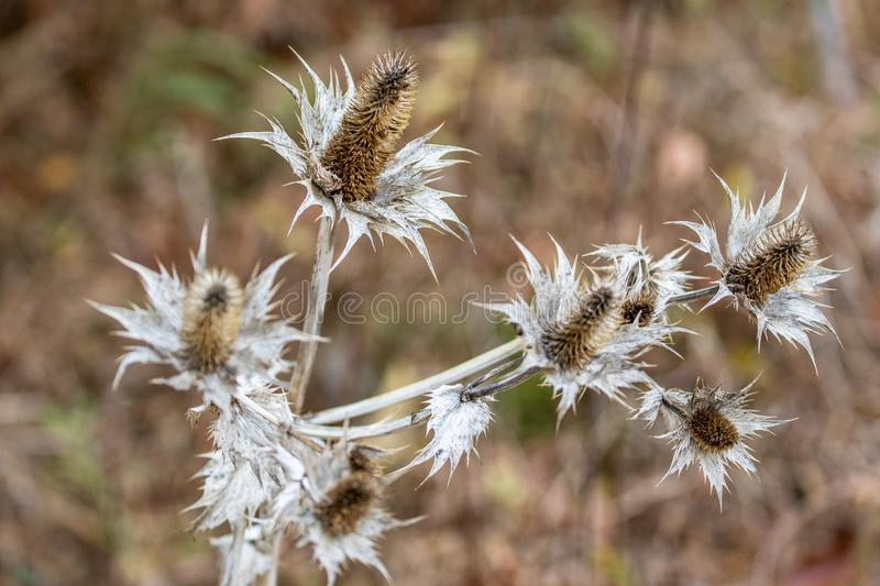 Wild silver thistle royalty free stock images