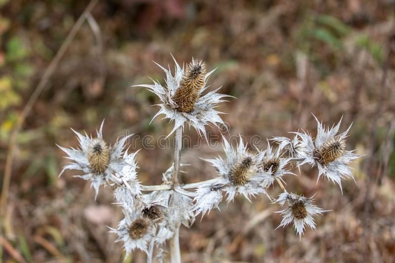 Wild silver thistle royalty free stock photography