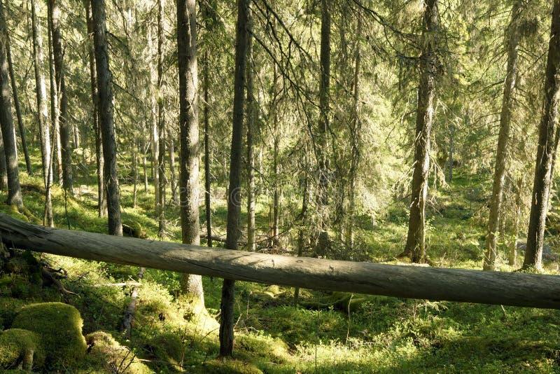 Wild skog fotografering för bildbyråer