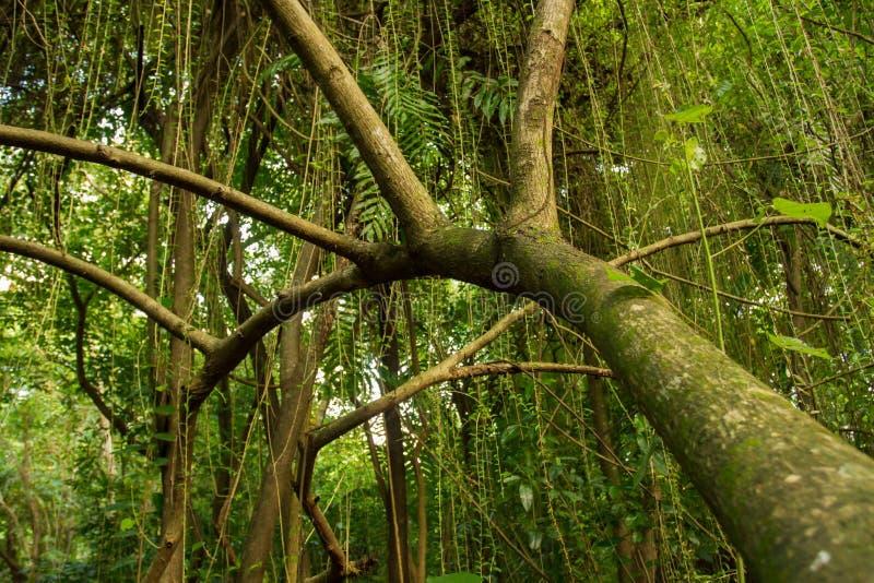 Wild skogland Sri Lanka Tät tropisk skog arkivfoton