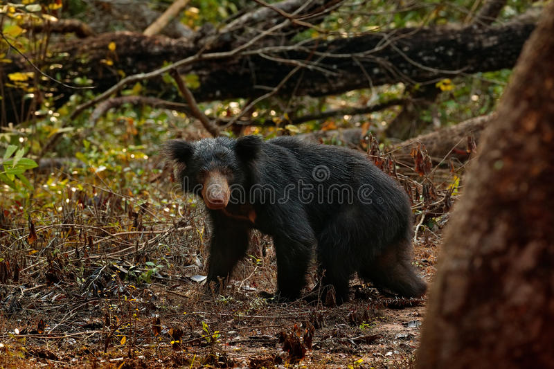 Wild sloth bear, Melursus ursinus, in the forest of Wilpattu national park, Sri Lanka. Sloth bear staring directly at camera, wild. Nature royalty free stock photos