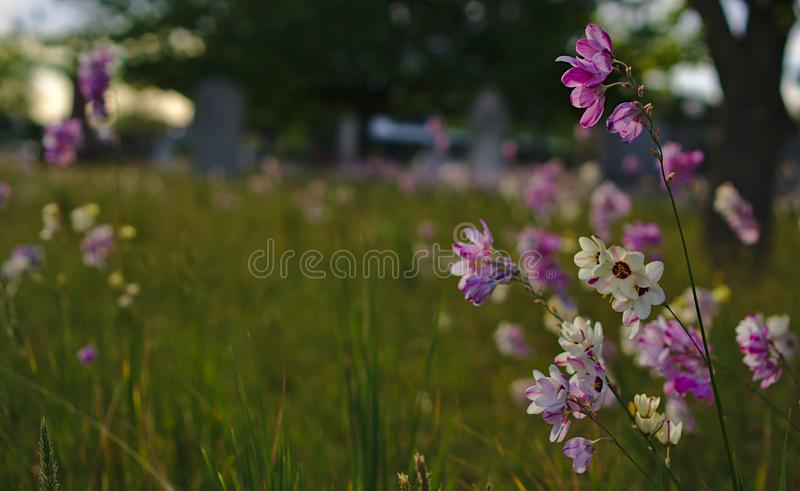 Wild small wild purple white colorful flowers at cemetery royalty free stock photos