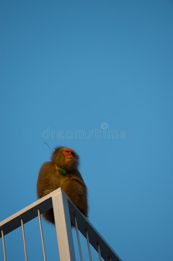 Wild Snow monkey. Animal series Snow monkey. for imege of leisure,nature science and others stock image