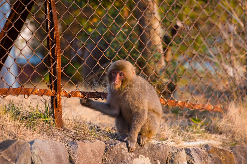 Wild Snow monkey. Animal series Snow monkey. for imege of leisure,nature science and others stock photos