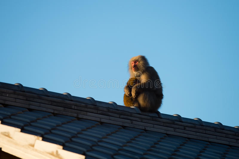 Wild Snow monkey. Animal series Snow monkey. for imege of leisure,nature science and others royalty free stock images