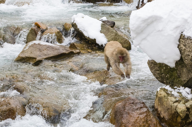 Wild Snow Monkey in Airborne Leap. A fuzzy brown wild snow monkey airborne in mid air in a leap over some rocks and rushing water in wintertime with snow-covered royalty free stock photography